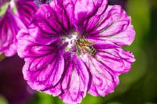 Mauve L'Herbier de la Clappe